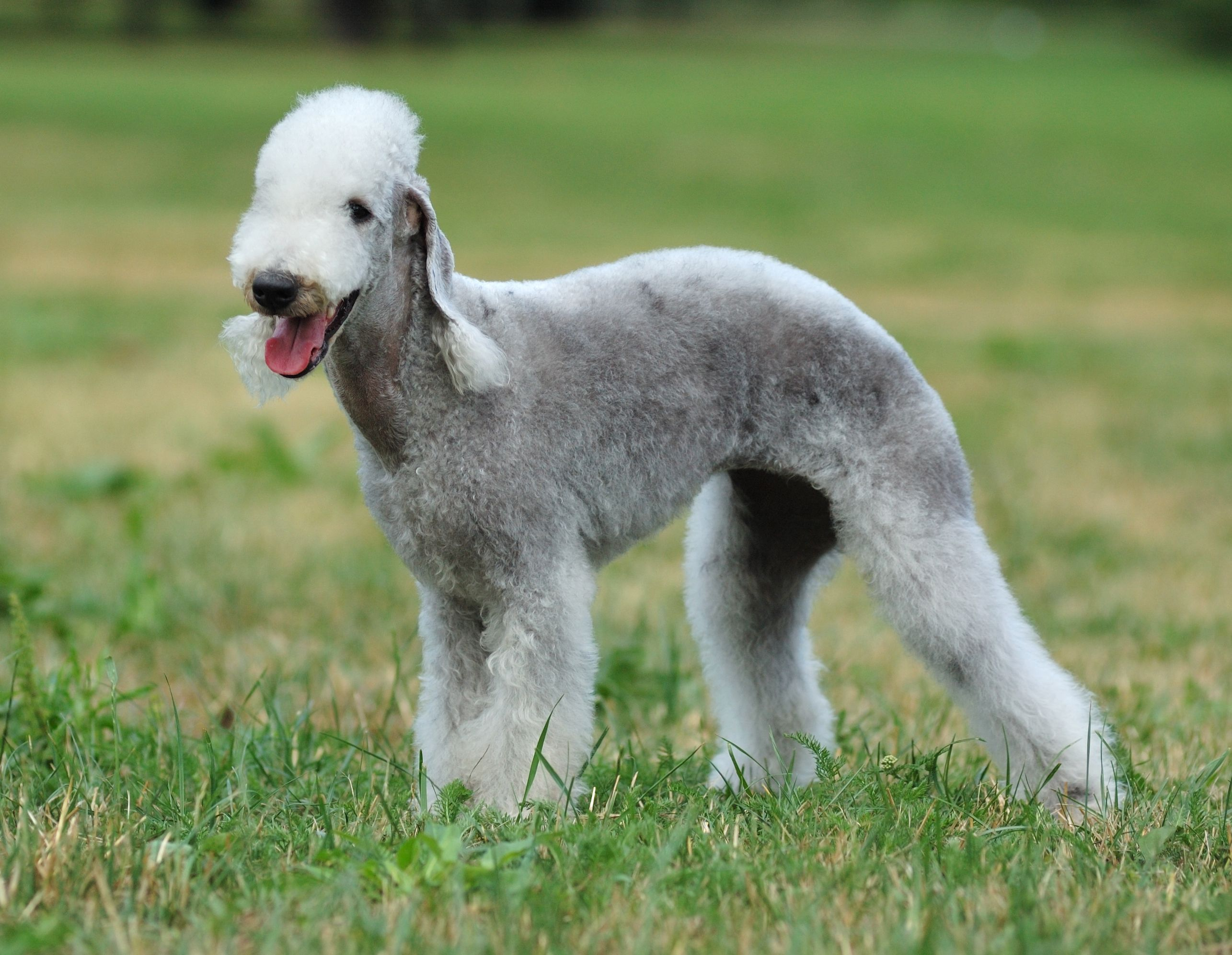 8. Bedlington Terrier