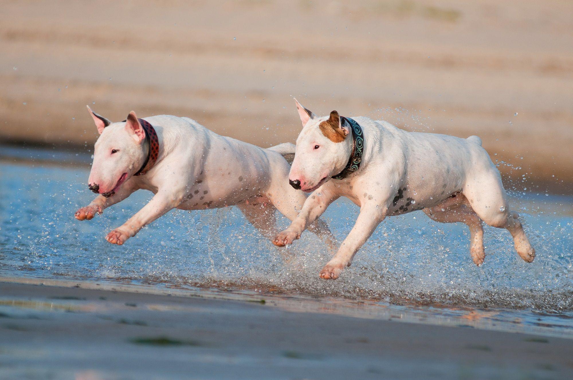 10. English Bull Terrier