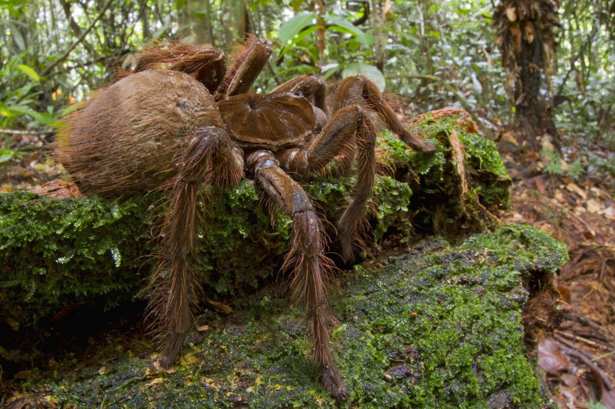 8. Goliath Bird-Eating Tarantula – Largest Spider In The World