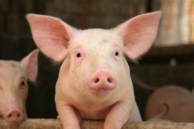 environmental-impact-disposal-waste-large-scale-pig-production